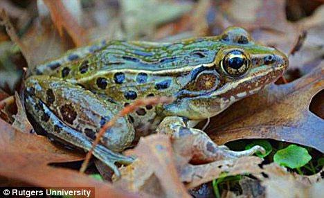 Phát hiện ếch da báo