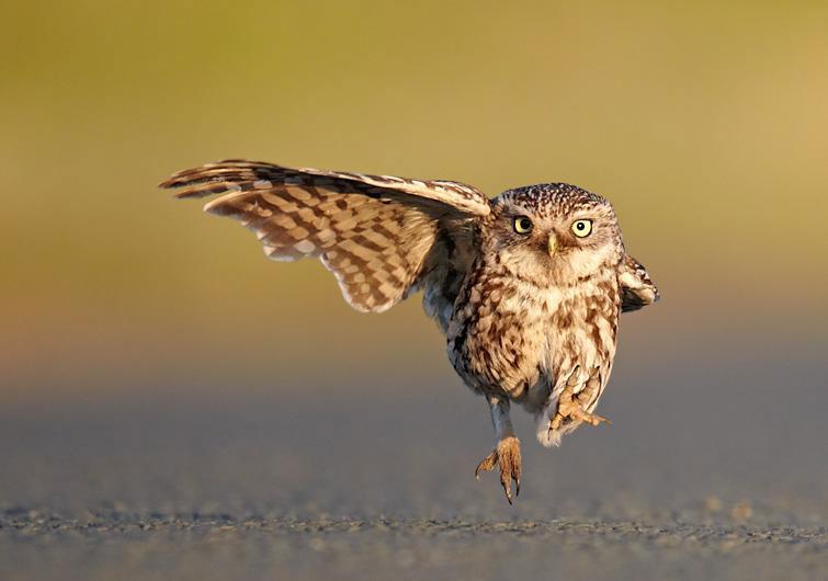 """Ảnh đẹp: Dáng đi kiểu """"cán bộ"""" của chim cú"""