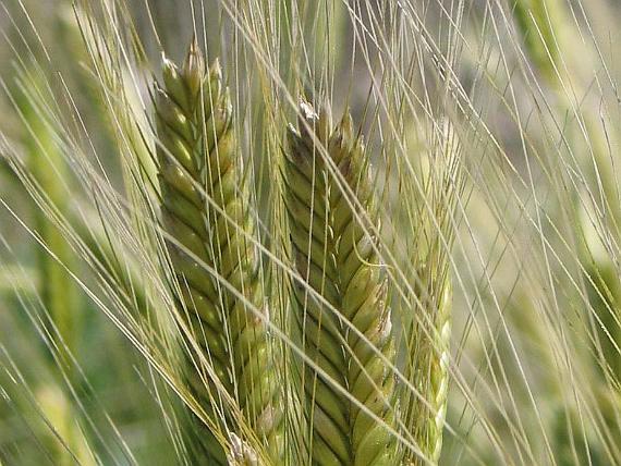 Nhân giống thành công lúa mì chịu được mặn