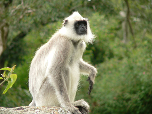 Voọc đầu trắng (hay voọc Cát Bà) đối mặt với nguy cơ tuyệt chủng do nạn săn cây cảnh