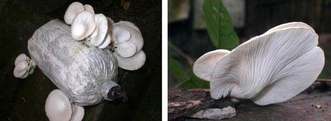 Nấm Hoàng Bạch được nuôi trồng tại VQG Cát Tiên (trái) và nấm Hoàng Bạch trong tự nhiên