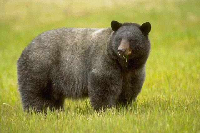 Cơ chế hồi phục tuyệt vời ở gấu