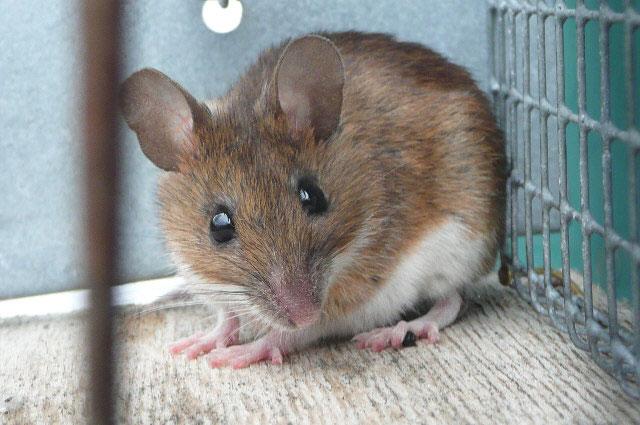 Âm nhạc sẽ giúp chuột được ghép tim sống lâu hơn