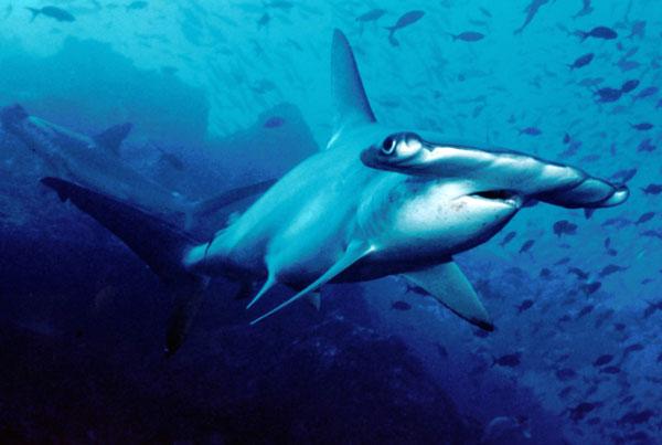 Nguy cơ đe dọa loài cá mập mới