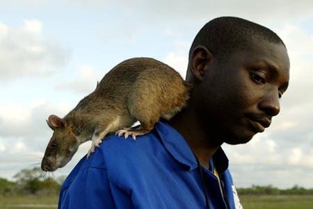 Chuột to bằng mèo hoành hành tại Mỹ
