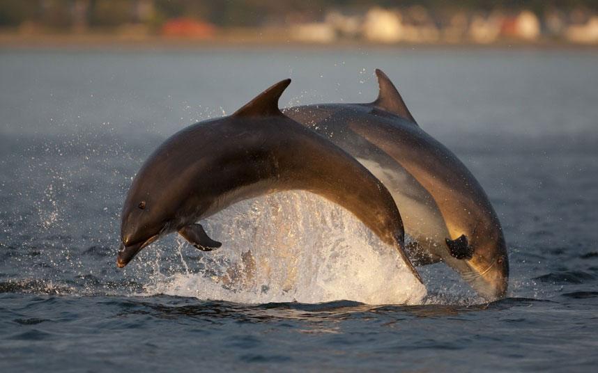 Hai con cá heo xám vọt lên khỏi mặt nước trong khoảnh khắc hoàng hôn tại vịnh Moray Firth, Scotland.