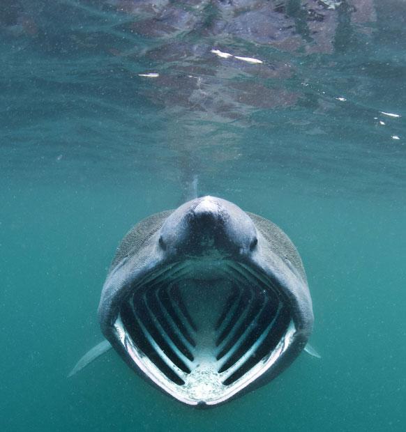 Cái miệng khổng lồ của loài cá mập phơi. Thức ăn chính của chúng là các sinh vật phù du.