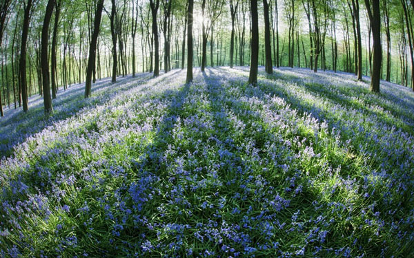 Cánh đồng hoa chuông trải dài tạo nên một tấm thảm đẹp mắt trước rừng sồi ở Hampshire. Hơn một nửa số hoa chuông trên thế giới mọc ở Anh.