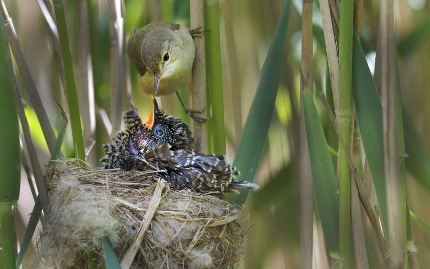Chim chích mẹ mớm mồi cho đứa con 12 ngày tuổi của mình.