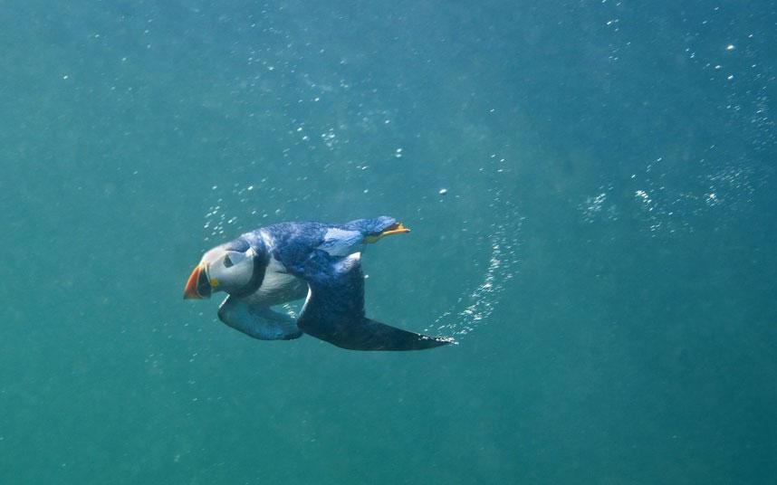 """Một con chim hải âu rụt cổ bơi quanh khu vực quần đảo Farne. Loài chim này thậm chí còn có thể """"bay"""" dưới nước."""