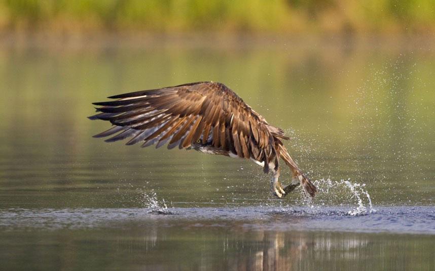 Khoảnh khắc nhào mình xuống nước săn mồi vô cùng ngoạn mục của chim ưng biển.