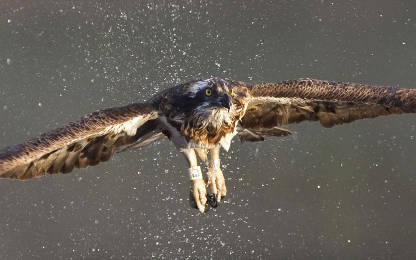 Chim ưng biển giang đôi cánh lớn vút lên khỏi mặt nước.