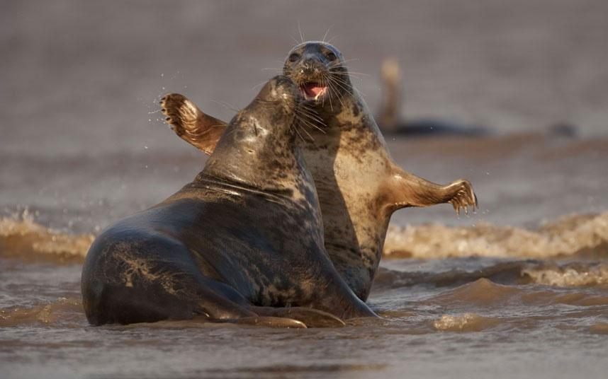 Cuộc chiến gay cấn giữa hai con hải cẩu đực để giành quyền giao phối với con cái.