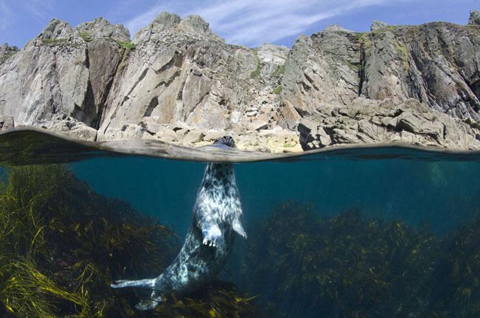 Một con hải cẩu xám ngóc đầu lên khỏi mặt nước tại đảo Lundy, Devon.