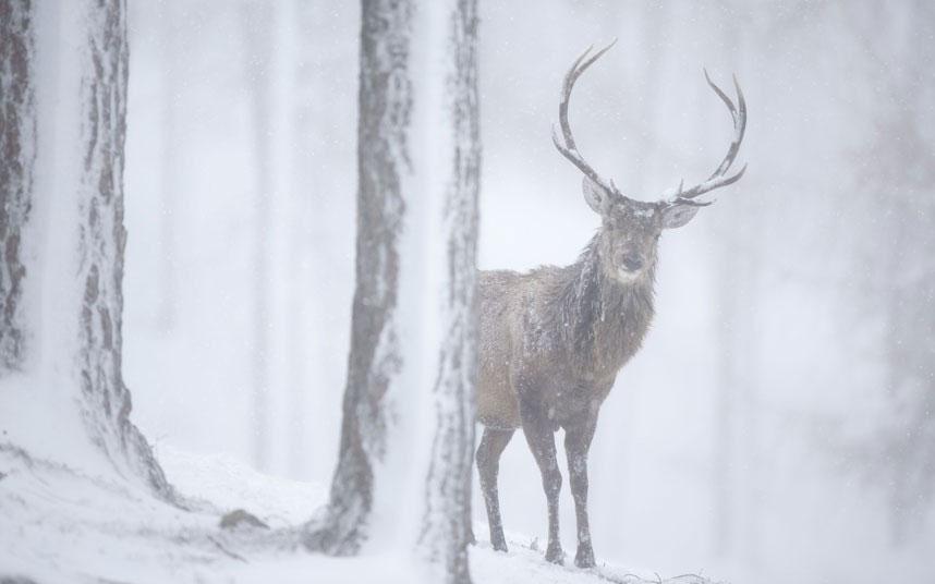 Một con hươu đỏ đực xuất hiện trong trận bão tuyết ở cánh rừng thông tại công viên quốc gia Cairngorms, Scotland.
