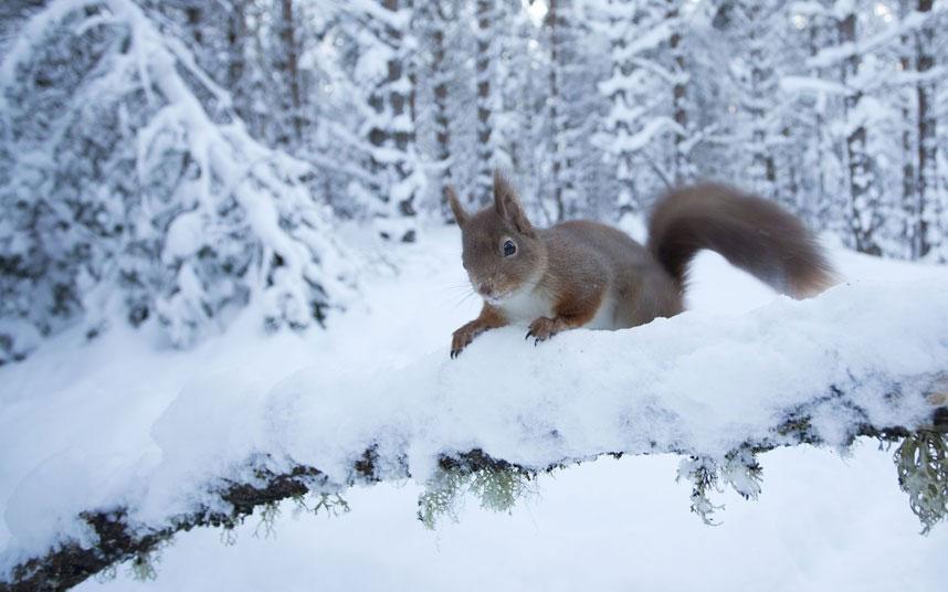 Trên cành cây phủ đầy tuyết trong rừng thông tại Scotland, chú sóc đỏ ló đầu ra nhìn ngắm cảnh vật xung quanh một cách thích thú.