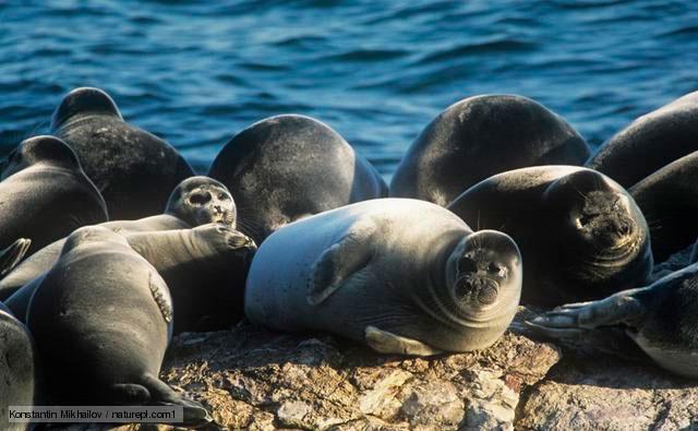 Hải cẩu chết hàng loạt tại bờ biển Kazakhstan