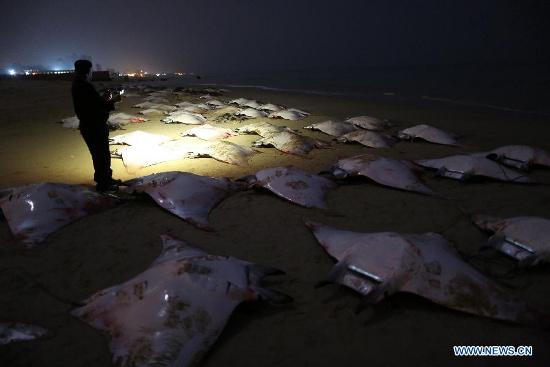 Một cảnh sát Palestine quan sát xác của những con cá đuối Mobula trên bờ biển thành phố Gaza hôm 27/2.