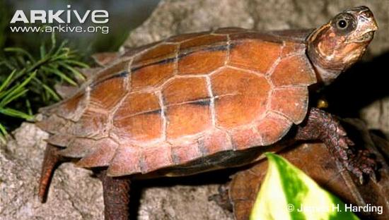 Do bị săn bắt quá mức mà số lượng rùa đất Spengleri hiện tại còn rất ít.