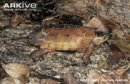Loài rùa này sinh sống tại các vùng núi đồi phía Bắc Việt Nam như Lào Cai, Tuyên Quang, Vĩnh Phúc (VQG Tam Đảo) Bắc Giang, Sơn La cho đến Thanh Hoá, Nghệ An, Đà Nẵng, Quảng Nam.