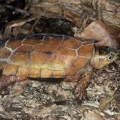 Quái vật mình rùa, đầu chim kỳ lạ của Việt Nam