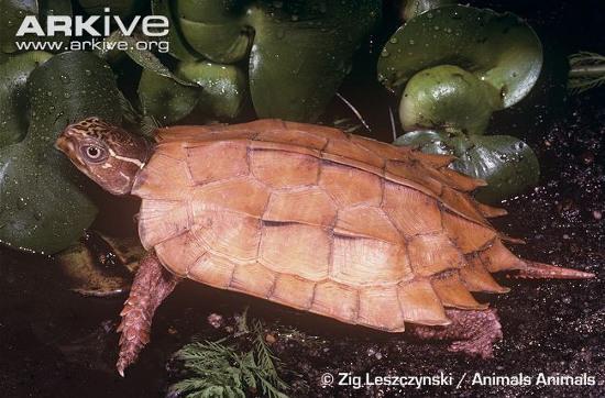 Rùa đất Spengleri có kích cỡ khá nhỏ, chiều dài mai không quá 12cm.