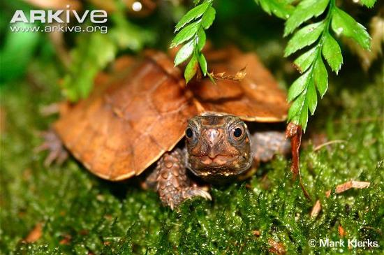 Thức ăn ưa thích của chúng là động vật nhỏ như ốc sên, giun đất và các động vật không xương sống khác ở trong rừng.