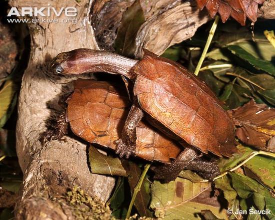 Loài rùa này từng rất phổ biến ở vùng núi Tam Đảo, tỉnh Vĩnh Phúc.