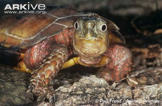 Do có hình dáng lạ lùng và màu sắc đẹp, nhiều  người đã săn tìm loài rùa này để làm sinh vật cảnh.
