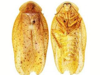 Hình phía trước và sau của loài Pseudophoraspis recurvata.