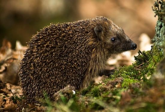 Nhím Hedgehog