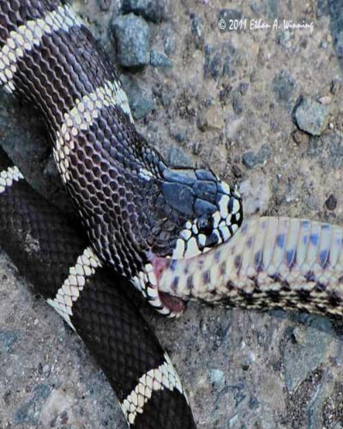 Rắn săn rắn