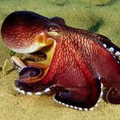 Video: Đời sống tình dục của bạch tuộc sọc