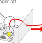"""Chuột ở Mỹ và Brazil """"giao tiếp"""" qua Internet"""