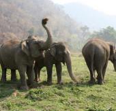 """Thái Lan """"sẽ tăng cường bảo vệ voi"""""""