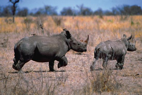 Tê giác Ấn Độ bị giết liên tục trong thời gian qua  khiến giới chức và kiểm lâm địa phương lo ngại.