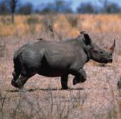 Tê giác Ấn Độ bị giết với tốc độ chóng mặt