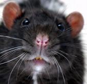 """""""Siêu chuột"""" to như mèo vì nhiễm phóng xạ"""