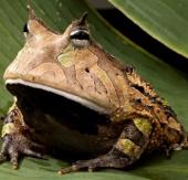 11 loài cóc, ếch kỳ lạ: Việt Nam có 2 đại diện