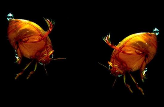 2 chú bọ cánh cứng đang chơi đùa.