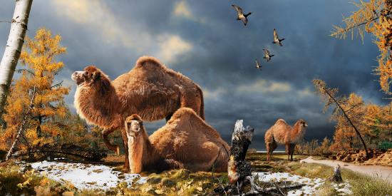 Hình mô phỏng các con lạc đà từng sống ở Bắc cực  cách đây khoảng 3,5 triệu năm.