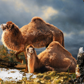 Lạc đà từng cư trú ở Bắc cực