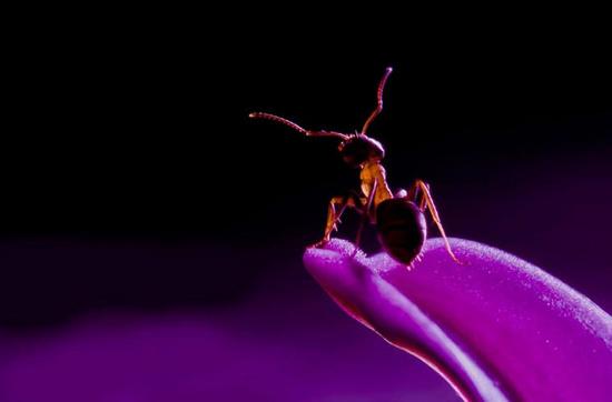 Chú kiến trong một không gian toàn màu tím.