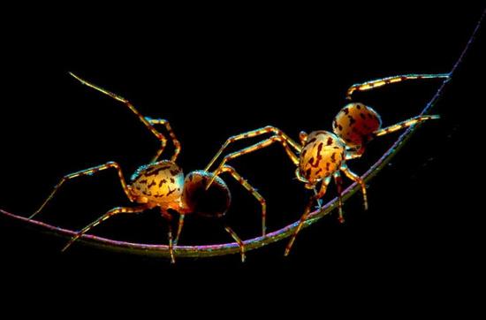 2 chú nhện đang tung tăng trên một cọng cây.