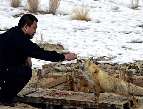 Cảnh tượng này xảy ra giữa sa mạc Gurbantunggut, khu tự trị Tân Cương, Trung  Quốc vào ngày 28/2. Zhang Yong, một người đàn ông 33 tuổi, cho một con cáo ăn.