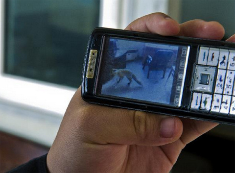 Anh Zhang Yong ghi hình cảnh tượng con cáo trong trạm gác.
