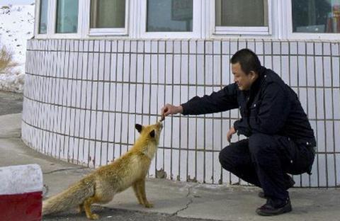 Cho con cáo ăn đã trở thành một hoạt động quen thuộc trong cuộc sống hàng ngày của những người công nhân.