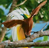 Video: Vũ điệu tán tỉnh của chim thiên đường
