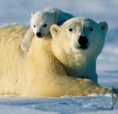 Nỗ lực bảo vệ gấu trắng của Nga, Mỹ thất bại