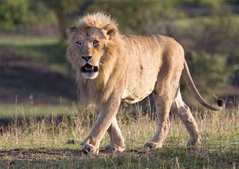Một con sư tử đực tới gần một bầy sư tử non trong công viên quốc gia Serengeti, Tanzania. Nó muốn cắn chết những con sư tử nhỏ để có cơ hội giao phối với mẹ của chúng.